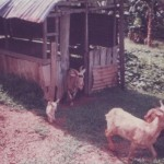 Rearing Goats