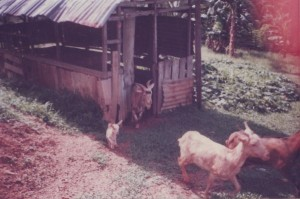 Rearing Goats